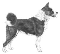 Karelsk-bjornhund