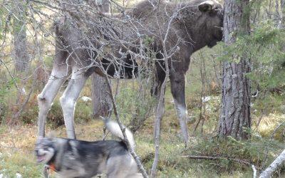 Høringmøte om jaktprøveregler for løshund